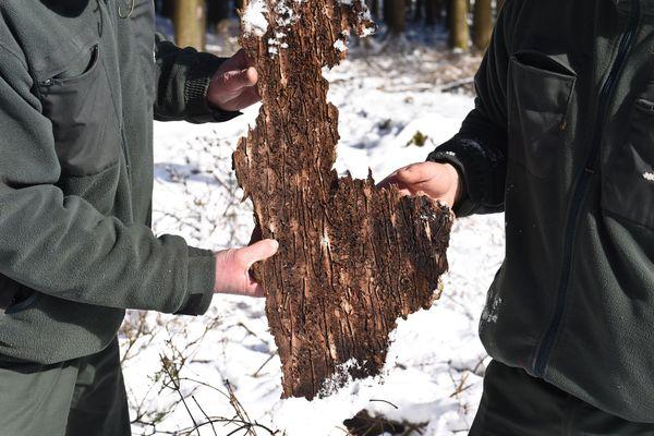 Les scolytes creusent des galeries sous l'écorce et coupent ainsi la circulation de la sève, qui entraîne le dépérissement de l'arbre