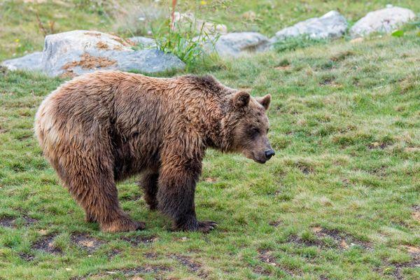 52 ours vivent dans le massif des Pyrénées, entre France, Espagne et Andorre.