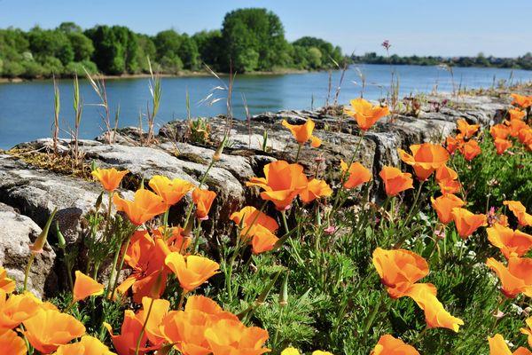Fleurs de printemps au bord de al Loire à Saint-Julien-de-Concelles