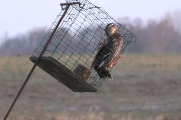 Capture d'écran de la vidéo de Pierre Rigaux montrant un canard dans une cage minuscule.