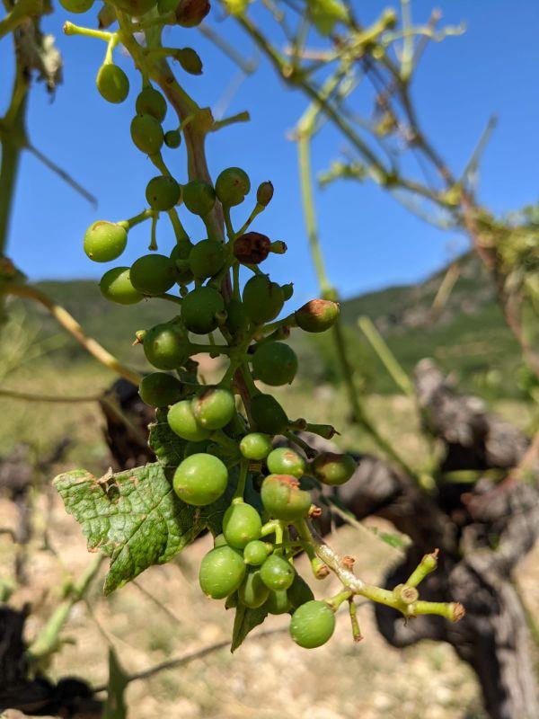 Julien et Delphine Zernott, viticulteur dans l'Hérault ont perdu près de 30% de leur récolte - 21 juin 2021
