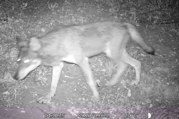 Le loup gris a été filmé à la fin du mois de septembre, dans l'Aube.
