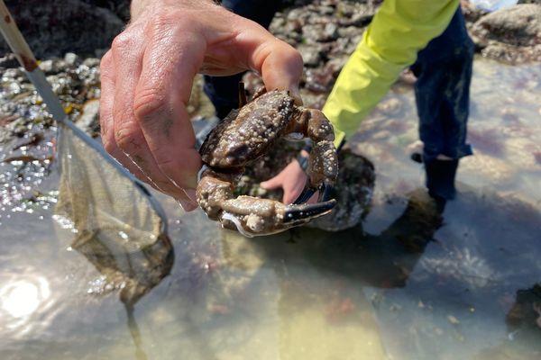 A Saint-Jacut-de-la-Mer, partie de pêche à pied pendant les grandes marées