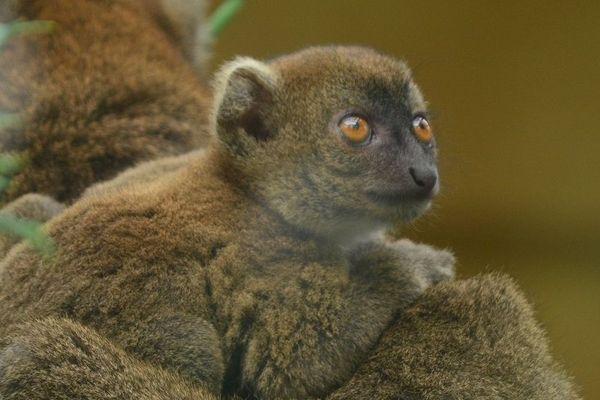 Ce petit Grand Hapalémur est né le 25 mai. Il a une grande sœur de 2 ans.
