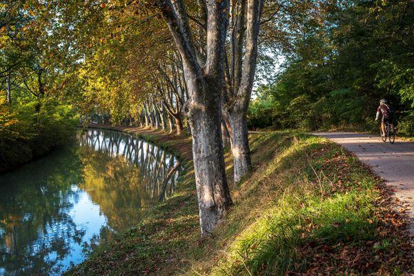Depuis 2006, près de 26 000 platanes malades ont été abattus le long du Canal du Midi.