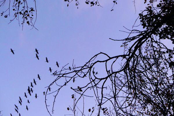 Les grues cendrées, en pleine migration, se regroupent le soir à l'étang de la Horre, dans l'Aube.