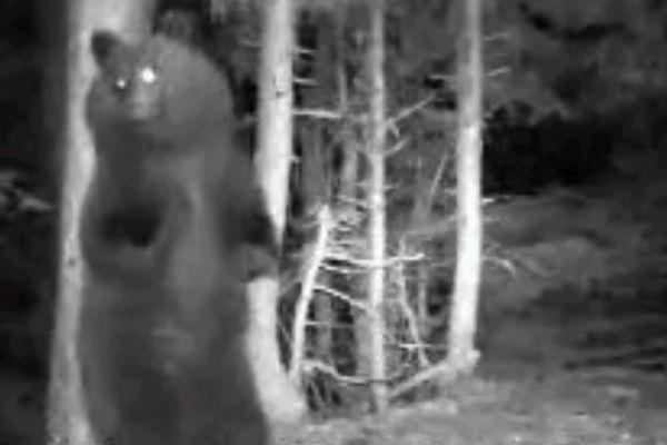 L'un des oursons de 2012, filmé par une caméra automatique
