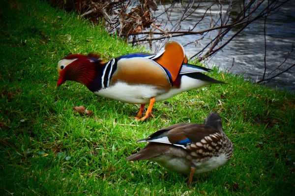 Chez les canards mandarins, le mâle va présenter ses plus belles couleurs à la femelle, le temps d'une séduction