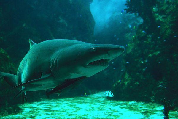 Le requin taureau d'Océanopolis est décédé