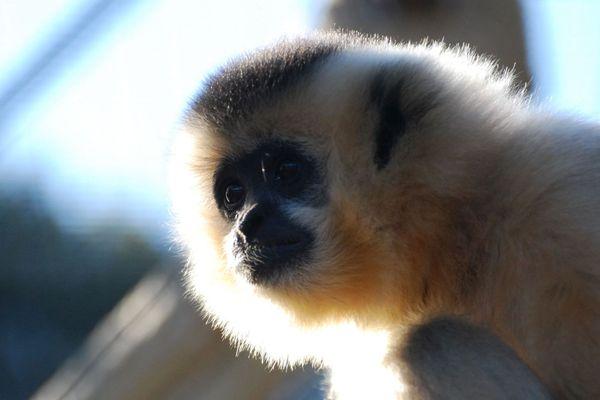 Malgré son air inquiet, cette femelle gibbon (folivore) ne manquera pas elle non plus de nourriture.