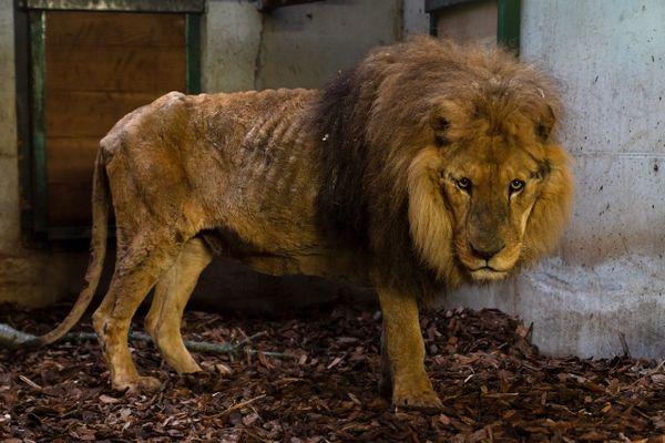 Jon, un lion très amaigri, retiré au Cirque de Paris sur ordre de la Préfecture de l'Eure en juin 2020