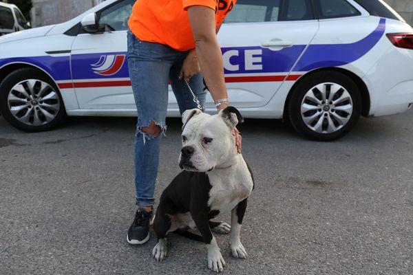 Des chiens pitbull victimes de maltraitance aggravée ont été saisis par la police marseillaise en collaboration avec la SPA