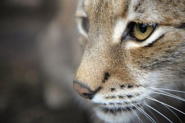 Un lynx espèce protégée