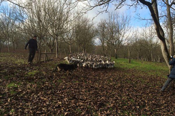 élevage d'oies en plein air sous les noyers