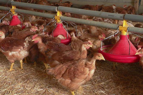 Elevage de poulets de Loué, février 2020