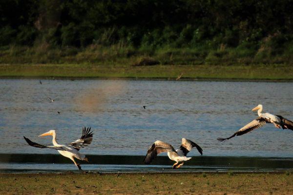 Pélicans à l'étang des Landes.