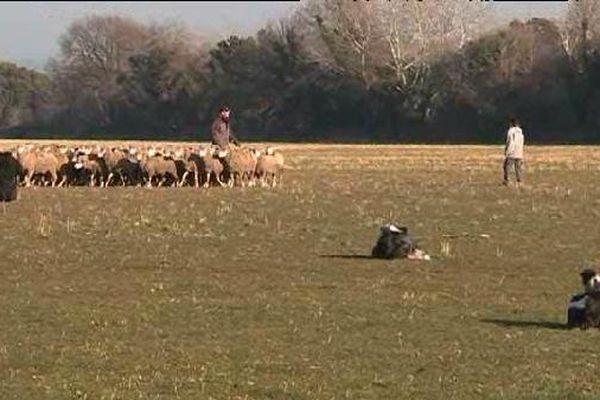 A l'école de bergers , les apprentis apprenent a conduire un troupeau et se faire obéir de leur chien.