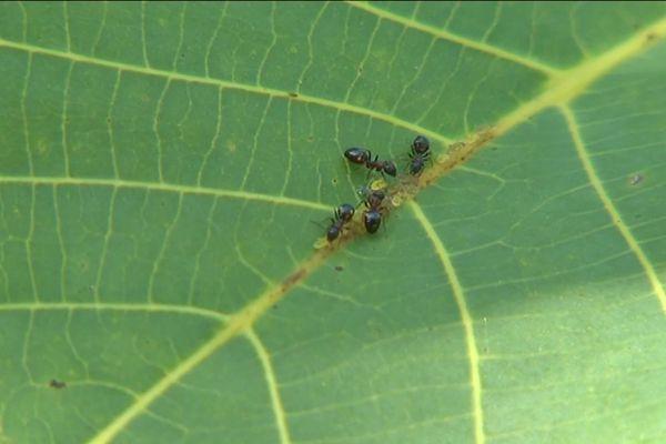 Recensement des fourmis en Corrèze