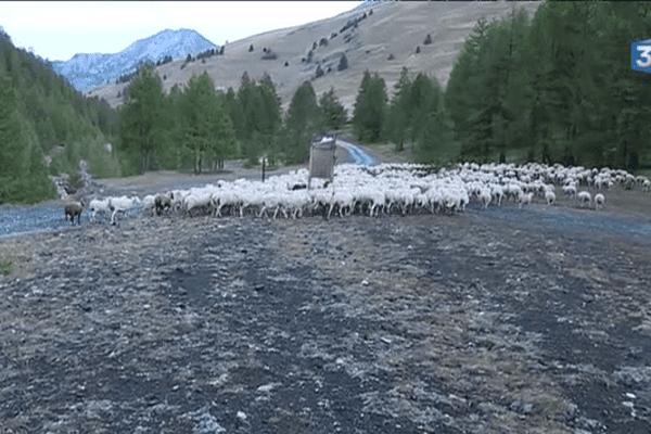 700 têtes redescendant dans la vallée après un séjour à 2000 mètres d'altitude.