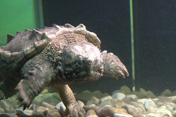 La tortue alligator a pris ses quartiers au Village des tortues de Carnoules dans le Var en mai 2020.