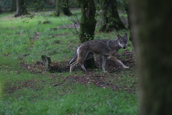 Un loup gris photographié dans le zoo de Jurques, en Normandie. Photo d'illustration