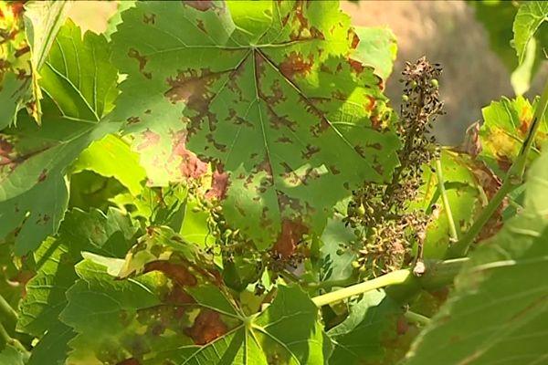 Le mildiou s'attaque aux vignes ... archives