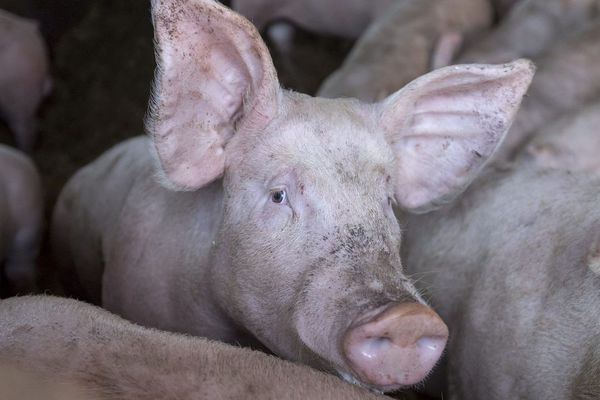 Dans le Puy-de-Dôme, sur la commune de Durmignat, un projet d'élevage intensif de porcs ne fait pas l'unanimité.(Photo d'illustration)