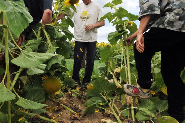 Ces faucheurs volontaires arrachent d'un champ de tournesols qu'ils considèrent comme des OGM.