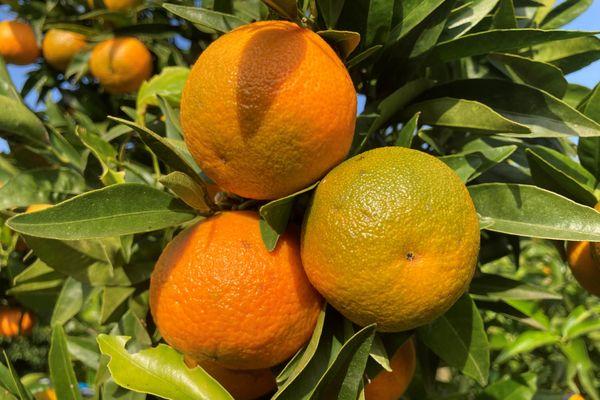 La filière de clémentine est la deuxième puissance économique agricole de Corse.