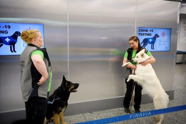 En Finlande, des chiens dénicheurs sont utilisés dans les aéroports pour détecter la Covid
