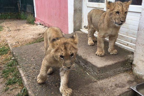 Nala et Simba, deux adorable lionceaux, pèseront entre 150 et 200 kg à l'âge adulte