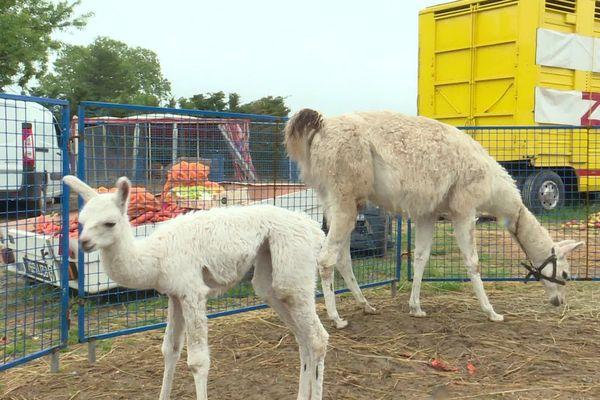Un bébé lama, né il y a une vingtaine de jours et sa mère, sont nourris notamment grâce à la solidarité des agriculteurs du Vaucluse.