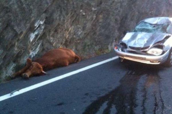 La vache errante est tombée sur la voiture au perthus