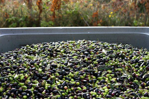 Cet automne 2020, la récolte des olives de bouche n'est pas fameuse (ici un bac contenant des olives tout juste récoltées pour les transformer en huile d'olive, en novembre 2009 à Clermont-l'Hérault).