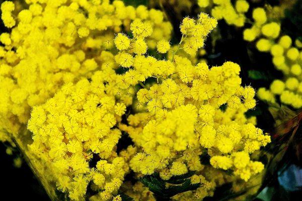 Dans les Pyrénées-Orientales, la récolte du mimosa a démarré avec un mois d'avance - Décembre 2015
