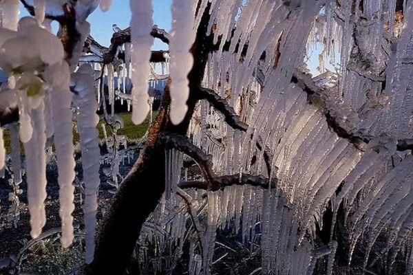 Illustration. Vignes capturées par le gel d'avril, aussi beau que dévastateur pour les cultures.