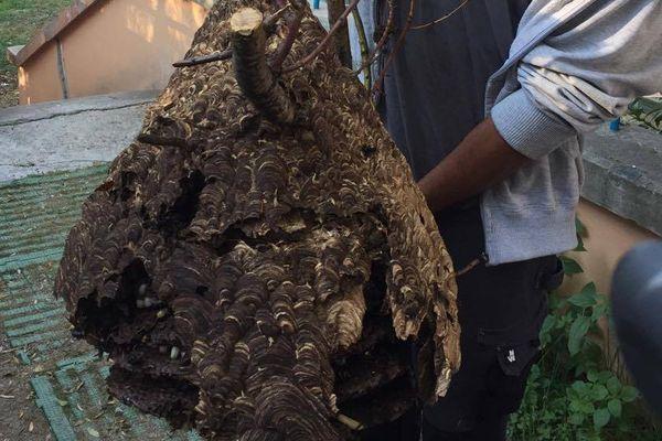 Dans cet essaim, environ 20.000 frelons asiatiques.