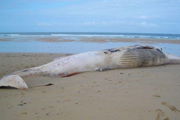 Le rorqual commun échoué sur la plage de Crozon mesure 17 m de long pour environ 30 tonnes