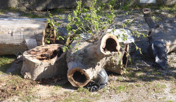 """Des tronçons de grosses branches creuses encore vêtues de """"chaussettes"""" en plastique, conçues pour laisser sortir les animaux et les empêcher d'entrer."""