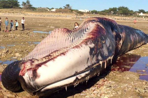 Le cadavre de cette baleine de 20 mètres de long a été découvert ce mercredi matin sur une plage d'Ars-en-Ré.