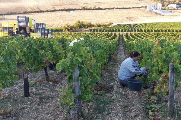 Les vignerons de Savoie préparent les vendanges en s'adaptant aux contraintes sanitaires. (Illustration)