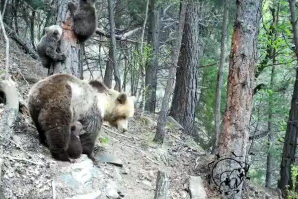 Premières images de la saison de trois oursons nés cette année et leur mère enregistrées en Catalogne. Mai 2021.