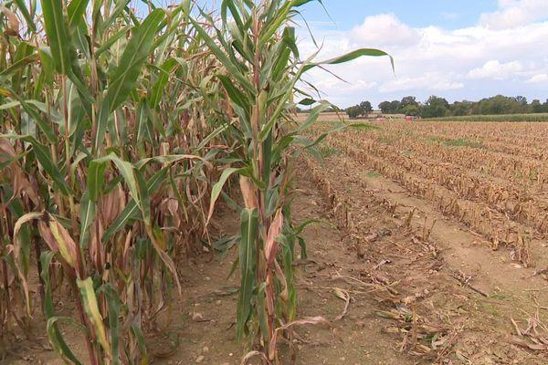 La culture du maïs est-elle adaptée au climat de l'Yonne, se demandent de plus en plus de spécialistes.