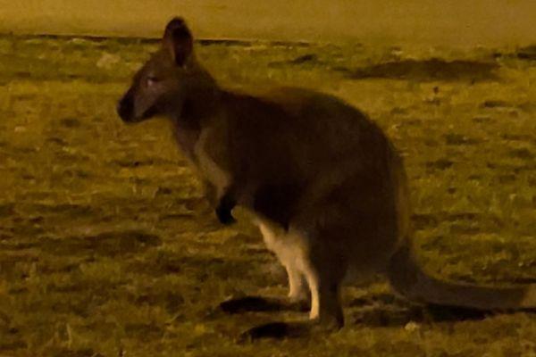 Un kangourou échappé de son enclos a été aperçu par des riverains à Cébazat, près de Clermont-Ferrand, aux alentours de 23 heures le 5 février.