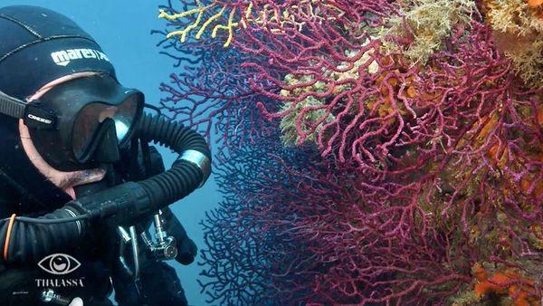 Corail rouge dans la réserve marine de Banyuls