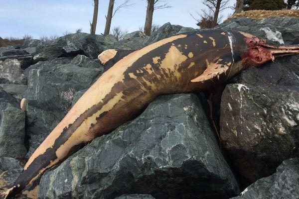 Un dauphin échoué plage de La Couarde sur l'île de Ré ce lundi 12 mars 2018.