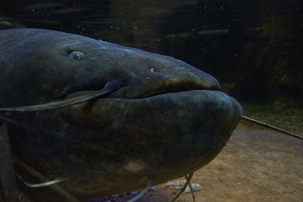 Ce poisson carnassier qui vient rarement à la surface de l'eau et chasse la nuit. Le silure ne se trouvait à l'origine que sur le Danube.