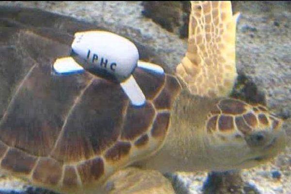 La tortue Belle équipée du logger dans les bassins de l'aquarium de La Rochelle