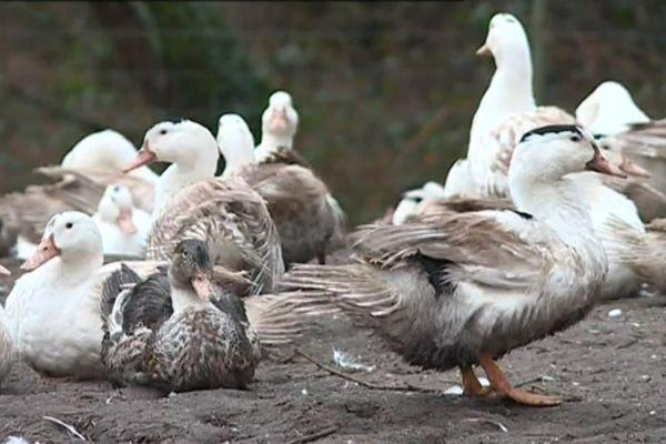 Tous les canards de l'élevage de St-Sauveur-de-Givre-en-mai dans les Deux-Sèvres sont abattus après la découverte de cas de grippe aviaire.