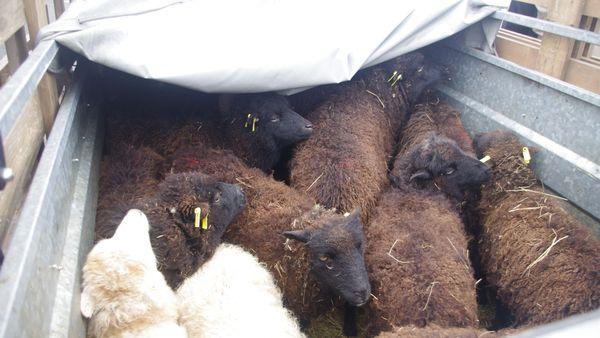 Le troupeau est composé de 15 moutons